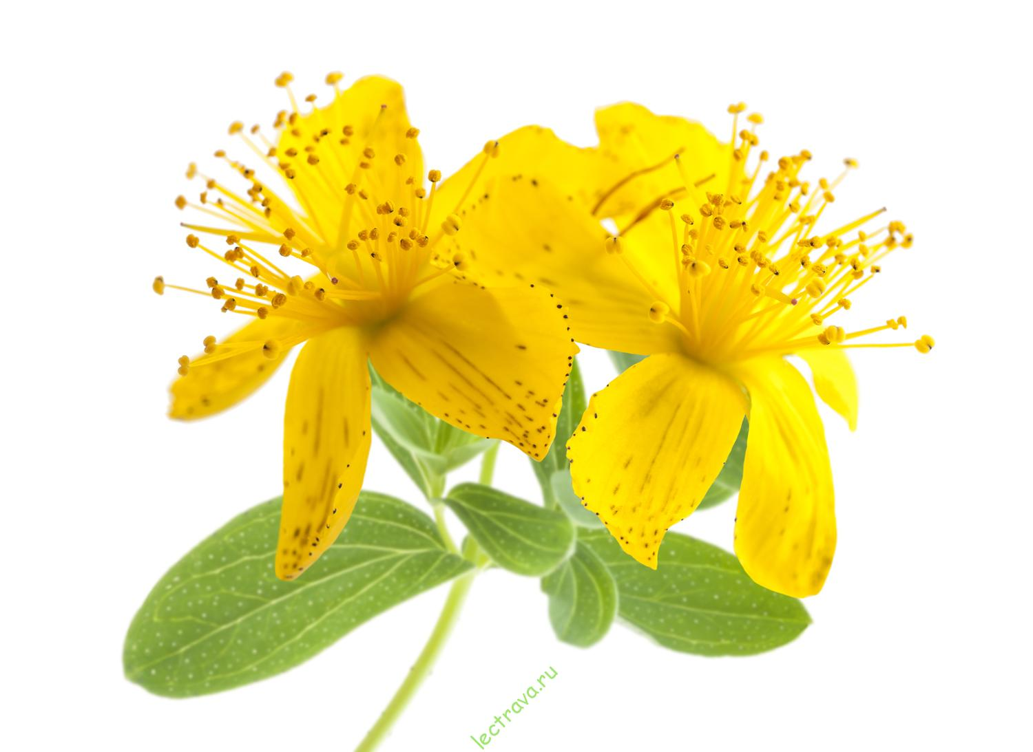 St john's wort photo